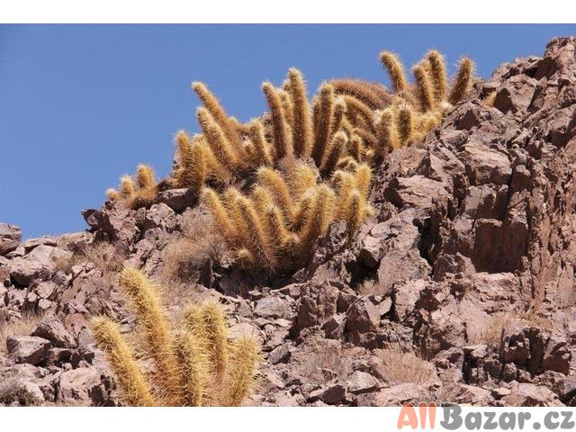 Kaktus Oreocereus varicolor z pouště Atacama - semena