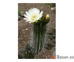 Kaktus Trichocereus chiloensis z vrchu Los Ventisqueros - semena