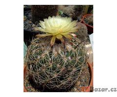 Kaktus Coryphantha reduncuspina - semena