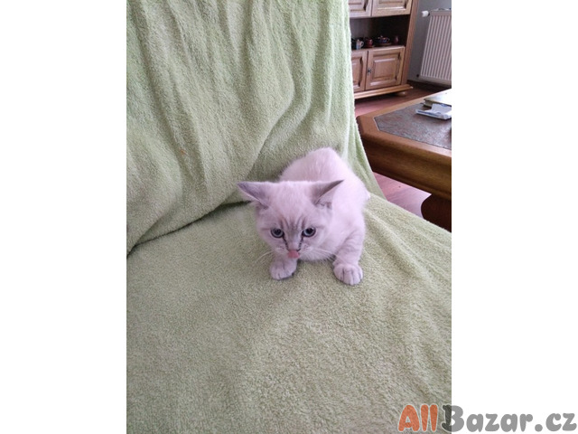 Koťata britská krátkosrstá - kočičky