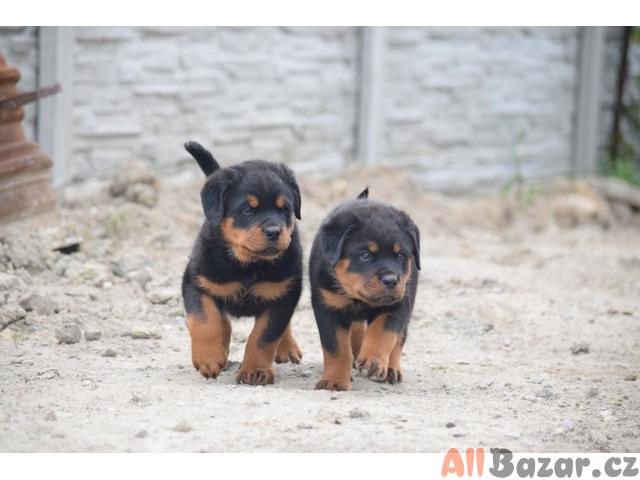 Pejsek rotvajlera s PP - štěně