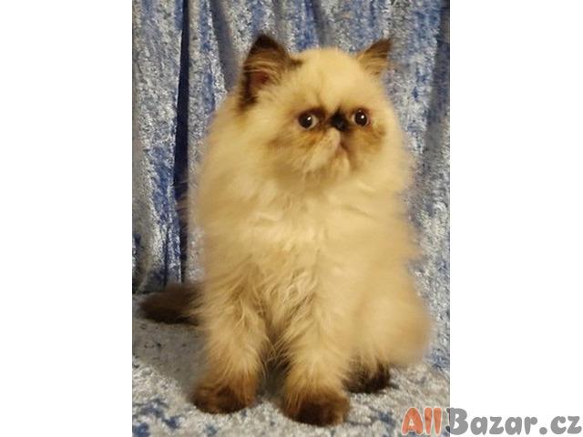 Prodám perská koťata s PP