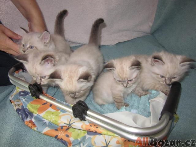 Něvská maškaráda-koťata s PP