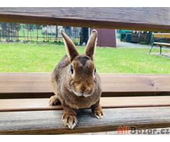 Zakrslý králíček s PP