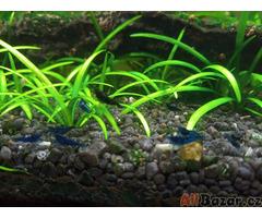 Akvarijní krevetky Neocaridina Blue Dream