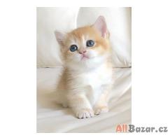 Britská zlatá kočička činčila