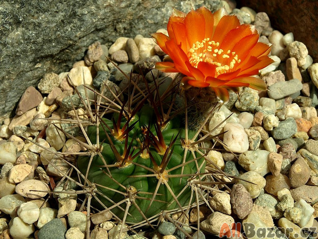 kaktus Acanthocalycium ferrari WR 572 - semena