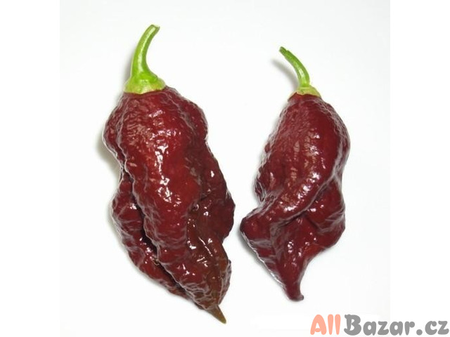 chilli Jolokia Bhut chocolate - semena