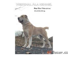 Středoasijský pastevecký pes štěňata s PP