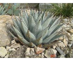 Agave neomexicana - semena