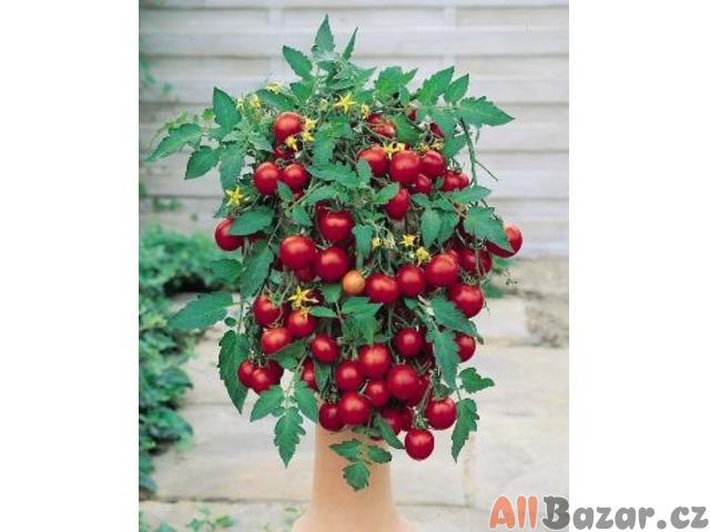rajče Tumbling Tom Red - semena