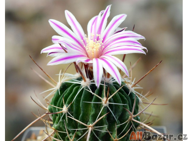 Kaktus Echinofossulocactus gladiatus - semena