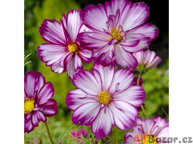 Krásenka Fizzy rose picotee - semena