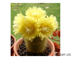 Kaktus Eriocactus leninghausii - semena