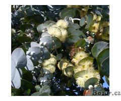 Eucalyptus Pulverulena - semena