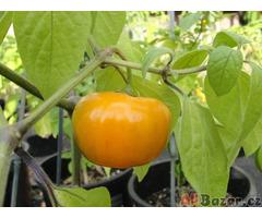 Chilli Rocoto Orange - semena
