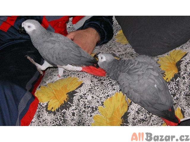 Samci a samice afrických šedých papoušků na prodej - 2 roky