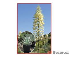 Yucca Whippleije - semena