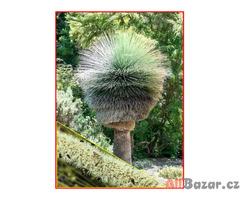 Trávový strom Xanthorrhoea preissii - semena