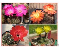 Kaktus Lobivia směs - semena