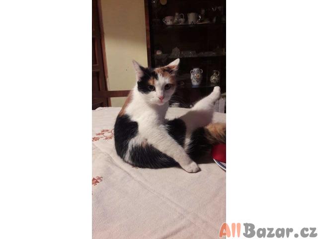 polobritská koťátka