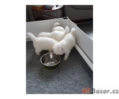Rodokmen Samoyed Pups