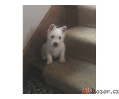 Štěňata West Highland Terrier na prodej