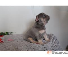 Super roztomilý francouzský buldoček štěňata na prodej