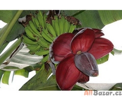 Banánovník Musa Balbisiana - semena