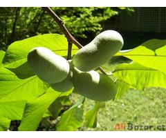 Asimina Triloba - naklíčené semeno
