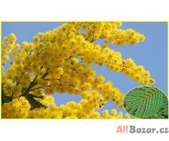 Acacia Decurrens - akácie sivozelená - semena