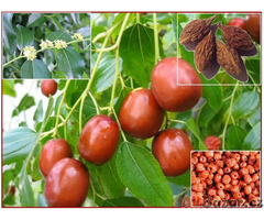 Zizipus Jujuba - semena