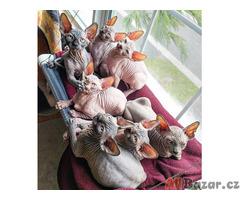 Zdravá koťátka Sphynx
