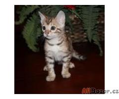Bengálská koťátka s PP