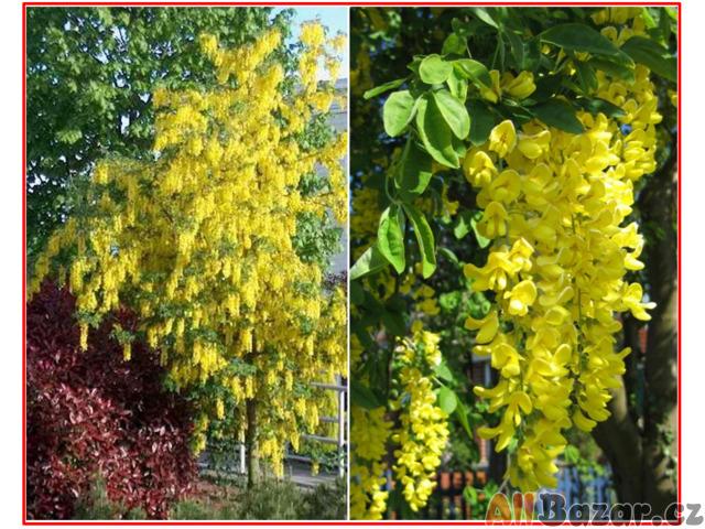 Laburnum Anagiroides - Štědřenec odvislý - semena