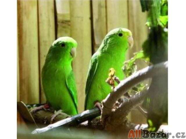 Papoušíček vrabčí - Forpus passerinus
