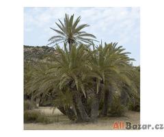 Naklíčené semeno Palma Phoenix theophrasti