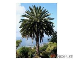 sazenice Palma Phoenix canariensis