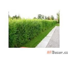AKCE: Kouzelný (zázračný) živý plot - Jilm sibiřský - Bezkonkurenční cena!