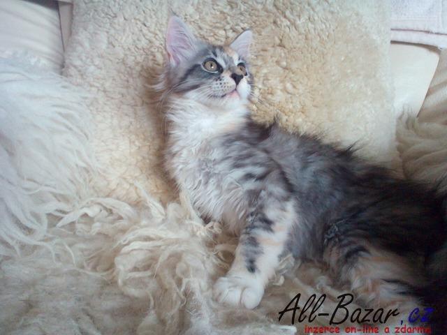 Asijské kočička holení