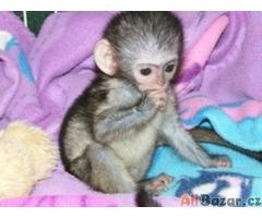 Prodám Rucná Zvýšený Capuchin Opice